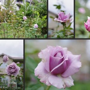 薔薇の庭に咲く花達です!