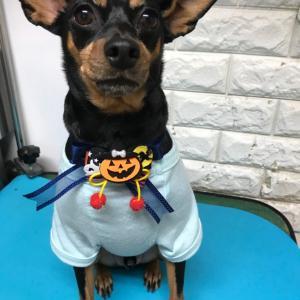 犬用ハロウィンリボンをプレゼント中