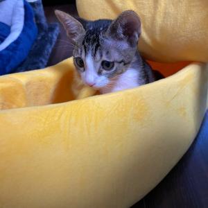 うちのネコたち3日目❤︎バナナに夢中です❤︎キャットタワーに登れるようになったよ!