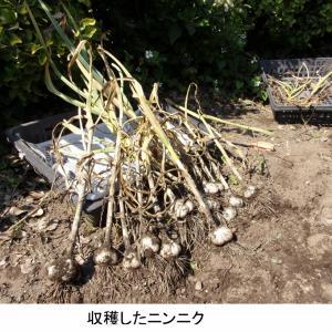 21年6月……ニンニクの収穫と冊子「銀次のブログ」