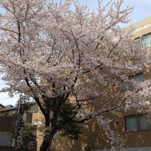 満開の桜の下、下北沢「ディアログ」のランチ