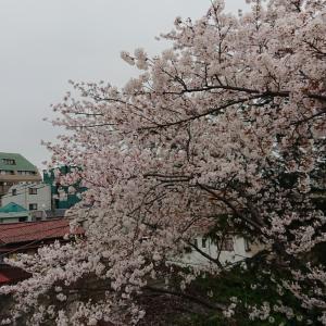 桜とリハーサルと魔法使いのハンバーグ