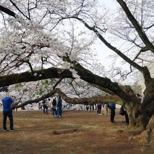 一年で最も賑やかな桜の季節の新宿御苑も臨時休園に