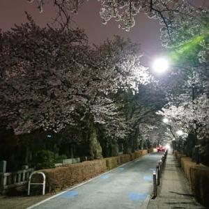 南北を貫く道路は桜の名所