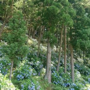 長山街道 紫陽花ロード