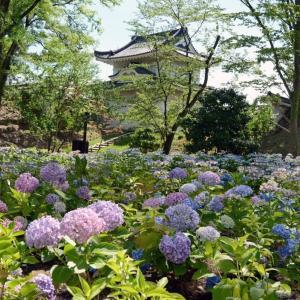 紫陽花が咲く二条城