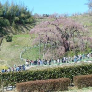 阪急トラピックスで行く三春滝桜と若冲観賞の日帰り旅その1 三春滝桜