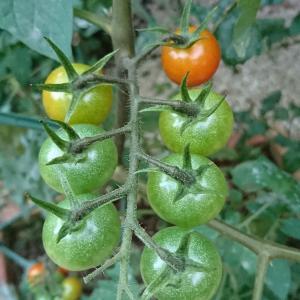家庭菜園でミニトマトを栽培