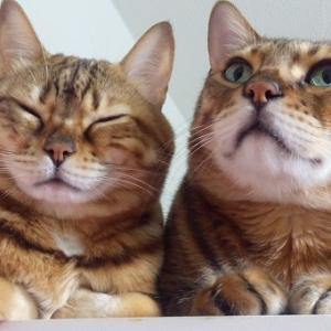 ベンガル猫に憧れて
