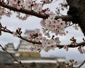 姫路城と桜とドーナツ