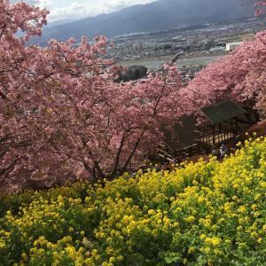 松田町 河津桜まつり