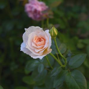 まだ夏顔のバラ達を大量に♪笑