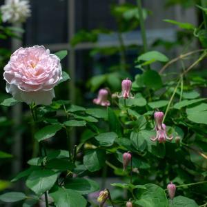 今日はバラ以外、クレマ&紫陽花✿
