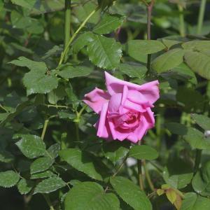 庭バラ✿ブルー紫&絞り