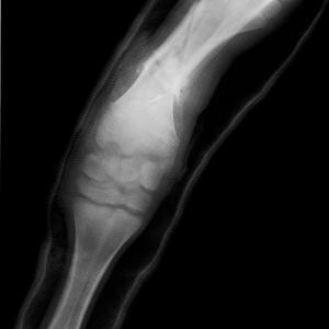 立て続けの、仔牛の四肢の骨折 (2)