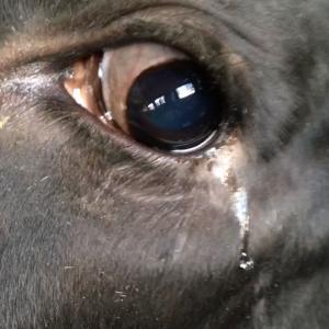 「牛は泣き虫である」という仮説
