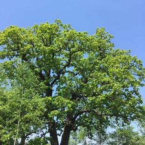 柏(かしわ)の木の目覚め