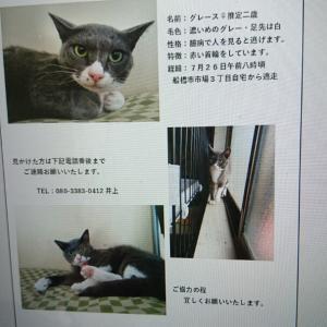 目撃情報あり迷い猫グレース