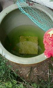 念願の金魚を2匹ゲット と増税前のにゃんこ缶 でポイント貯まる