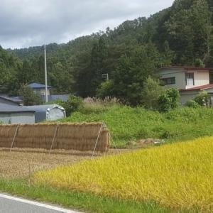 実りの秋 山形のお米