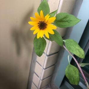 向日葵咲いてくれました❤︎