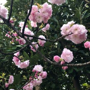 合間に愛でた桜