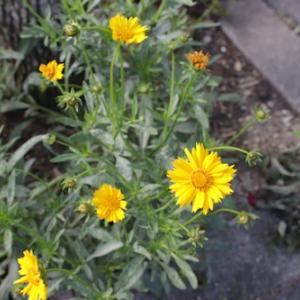 オオキンケイギクの花粉