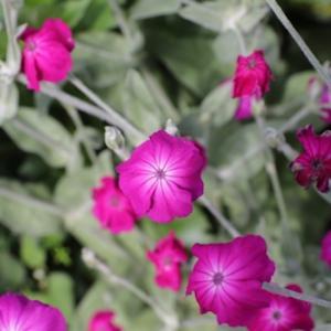 スイセンノウの花粉