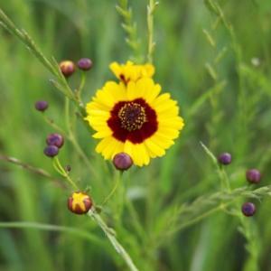 ハルシャギクの花粉