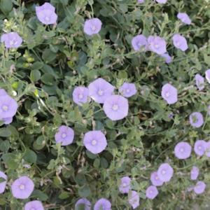 コンボルブルスの花粉