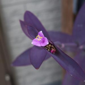 ムラサキゴテンの花粉