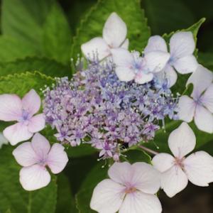 アジサイの花粉