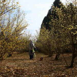 他のお花に先駆けて、春の訪れを教えてくれるのが蠟梅