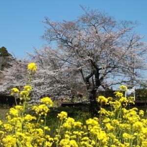 桜と菜の花が美しい場所にお出かけプロジェクト02
