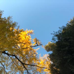 今日も銀杏が綺麗でした。(あや)