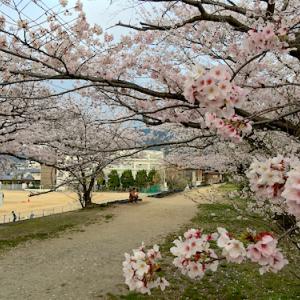 桜満開だけど、今年は静かです