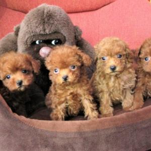 トイプードル子犬情報: 4頭の女の子デビュー=5頭見学できます:専門ブリーダー直営ハウス