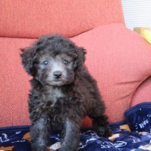トイプードル子犬:シルバー・レッドの女の子をお探しなら:専門犬舎直営ハウス