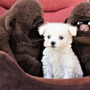 トイプードル子犬:シルバー・ホワイトの子をお探しなら