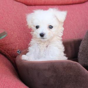 トイプードル子犬:シルバー3頭ホワイト・カフェオレ・レッド=7頭の案内