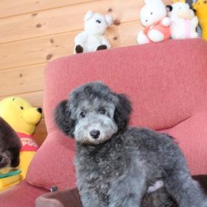 5頭のトイプードル子犬情報:HP更新しました