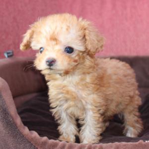 10頭のトイプードル子犬(HP/動画)を掲載しています。:専門犬舎直営ハウス