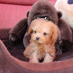 ホームページ移行のお知らせ&トイプードル10頭の子犬情報