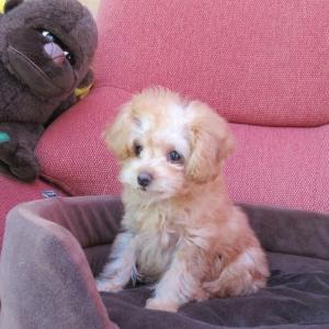 トイプードル子犬情報:ホームページ更新しました