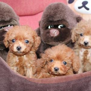 トイプードル子犬 7頭の紹介です:専門犬舎直営ハウス
