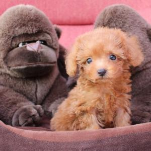 トイプードル子犬をお探しなら:6頭の子犬の案内です=専門犬舎直営ハウス