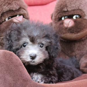 トイプードル6頭の子犬紹介:ホームページ(動画も)更新しました