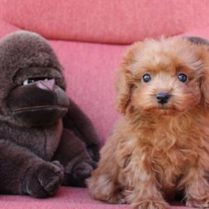 トイプードル子犬をお探しなら:6頭ご見学できます=トイプーガーデンハウス