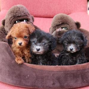 トイプードル 子犬5頭のご案内です:シルバー兄妹・レッド女の子
