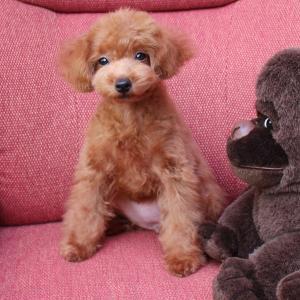 子犬情報更新しました:トイプードル7頭の動画など=専門犬舎直営ハウス